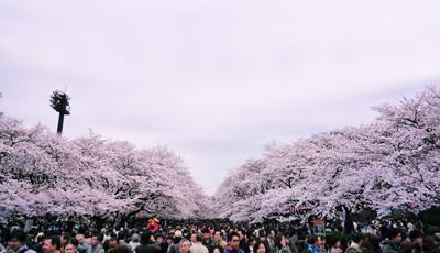 日本六日游_日本上野公园樱花