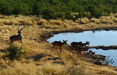 非洲四国14天游景点_纳米比亚埃托沙国家公-鹿在喝水
