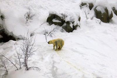 北欧三国11天之旅景点_芬兰北极动物园-北极熊