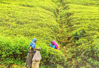 斯里兰卡6天游景点_斯里兰卡-亚拉的茶园